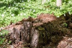 Secretos de un ?rbol viejo caido en el bosque imagenes de archivo