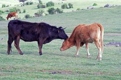 Secrets de vaches Photo stock