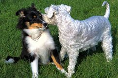 Secrets. Grace the Miniature Schnauzer appears to be whispering secrets to her pal Murphy the Sheltie Stock Photos