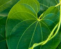 Close-up of large Green Ivy leaf and ivy vines stock photos