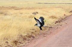 Secrétaire Bird Photo stock