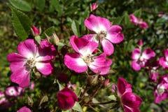 Secta color de rosa de Rosa del perro Caninae imagenes de archivo