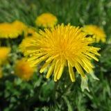 Secta del Taraxacum Ruderalia, diente de león, ranúnculo, un floweri amarillo imagen de archivo