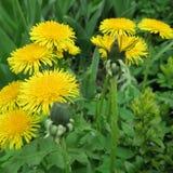 Secta del Taraxacum Ruderalia, diente de león, ranúnculo, una planta floreciente amarilla, importante para la medicina casera imagenes de archivo