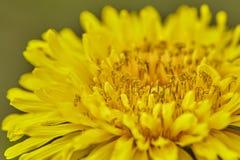 Secta del Taraxacum Ruderalia, planta floreciente amarilla, flor de la mantequilla, diente de león, una hierba curativa, que es t fotografía de archivo libre de regalías