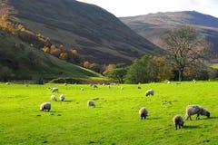 Secteur maximal Angleterre R-U de moutons photographie stock libre de droits