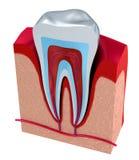 Sectie van de tand pulp met zenuwen en bloedvat Stock Foto