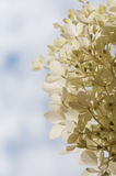 Sectio of Hydrangea Paniculata Phantom flowers Royalty Free Stock Photo