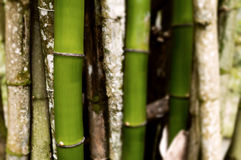 Section of bamboo trees grouped together background Royalty Free Stock Image