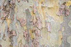 Section of Bark on a Huge Tree Stock Image