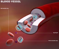 Section blood vessel artery. Vein, red blood cells royalty free illustration