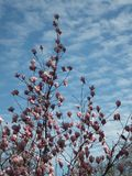 Section of blossoming magnolia tree partly lit by the sun against blue sky in spring royalty free stock photo