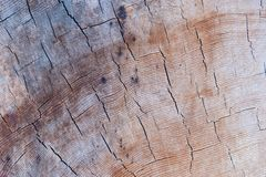Section of a cedar trunk. With annual rings Royalty Free Stock Photo