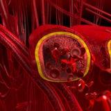 Section de coupure d'artères et de veines de sang Images libres de droits