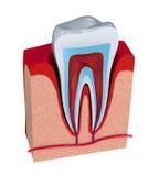 Section de la dent pulpe avec des nerfs et des vaisseaux sanguins Images libres de droits