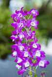Section Dendrobium Nobile. Royalty Free Stock Photography