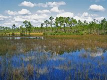 Florida Marsh. A section of the Florida Trail that travels through marshlands in Palm Beach County Royalty Free Stock Photos