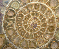 section fossile en travers d'ammonite Photo libre de droits