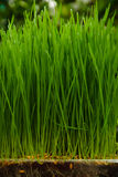 A section of grass growing Royalty Free Stock Photo