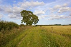 Mature Ash trees by a grassy farm track in summertime. A section of the minster way bridleway and footpath with an oak tree and hawthorn hedgerow under a blue Royalty Free Stock Image