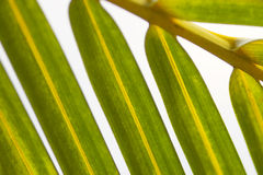 Section of a palm leaf. Section of a yellowish green palm leaf royalty free stock images