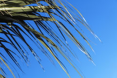 Section of Palm Leaf Ends Blowing in Wind  Background Royalty Free Stock Photography