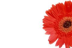 Section of red daisy flower Royalty Free Stock Photo