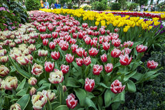 A section of the spectacular tulip display at the Gardens by the Bay in Singapore. Stock Images