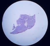 Section--swordtail fish Stock Photos