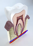 Section of a tooth, dentist, gum, dentistry Stock Image