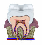 Section of a tooth, dentist, gum, dentistry Stock Photography