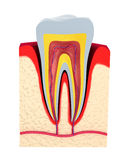 Section of the tooth. pulp with nerves Royalty Free Stock Images