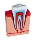 Section of the tooth. pulp with nerves and blood vessels. Royalty Free Stock Images