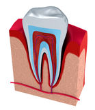 Section of the tooth. pulp with nerves and blood vessels. Stock Photo