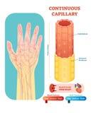 Section transversale anatomique capillaire continue d'illustration de vecteur Plan de diagramme de vaisseau sanguin d'appareil ci Photographie stock