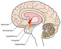 Section transversale de cerveau montrant les ganglions basiques et l'hypothalamus