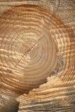 Section transversale de vieil arbre avec les boucles annuelles Image libre de droits