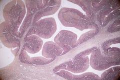 Section transversale du cervelet et du nerf humains sous le microscope pour l'éducation photos stock
