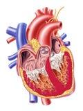 Section transversale humaine de coeur. Images libres de droits