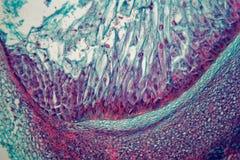Section transversale par des cellules d'une jeune plante d'une usine de maïs sous le microscope images libres de droits