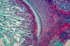 Section transversale par des cellules d'une jeune plante d'une usine de maïs sous le microscope image libre de droits