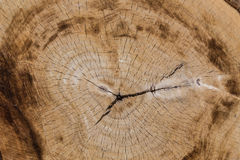 Section of the trunk of large tree. Section of the trunk of large old tree background Royalty Free Stock Photo