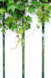 Section of white PVC fence with ivy Stock Photography