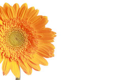 Section of yellow  daisy flower Royalty Free Stock Photo