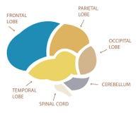 Sections de Brain Section Illustration d'humain Image libre de droits