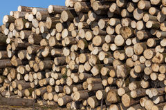Sections of pine and spruce logs. Felled trees. Royalty Free Stock Photo