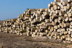 Sections of pine and spruce logs. Felled trees. Stock Photo