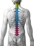 Sections of the spine. 3d rendered illustration - sections of the spine Royalty Free Stock Photo