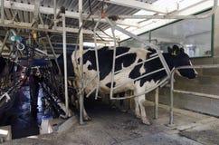 Sector lechero - instalación de ordeno de la vaca Imágenes de archivo libres de regalías