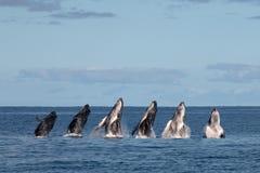 Secuencia de becerro de la ballena del humback que viola en Polinesia imágenes de archivo libres de regalías